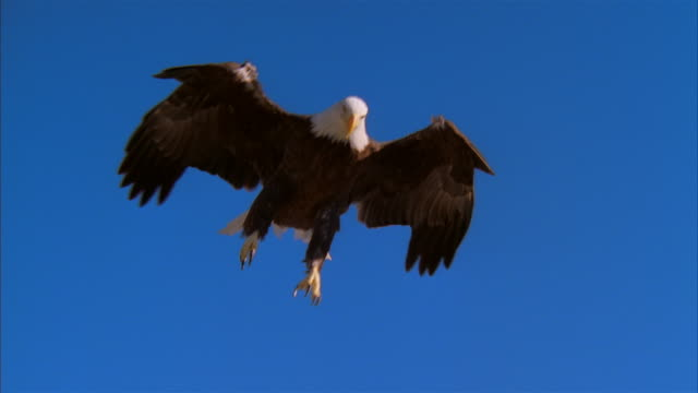 LA, MS, Bald Eagle flying against clear sky and landing on rock, Boise, Idaho, USA