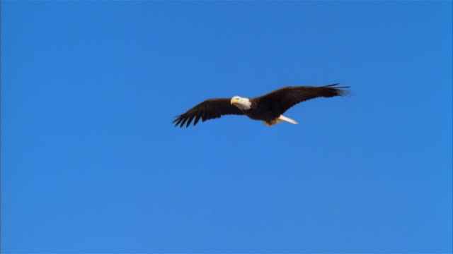 la, ms, bald eagle flying against clear sky, boise, idaho, usa - eagle stock videos & royalty-free footage