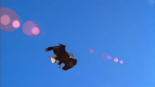 la, ms, bald eagle flying against clear sky, boise, idaho, usa - clear sky stock videos & royalty-free footage