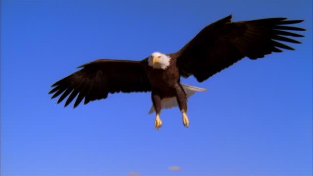 LA, MS, CU, Bald Eagle flying against clear sky, Boise, Idaho, USA
