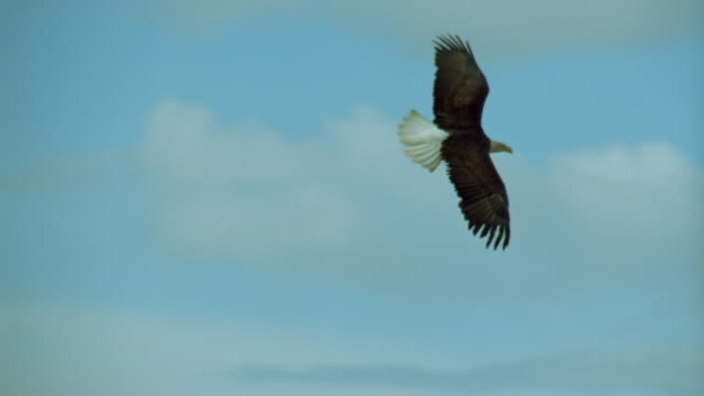 PAN bald eagle flying in blue skies over hills