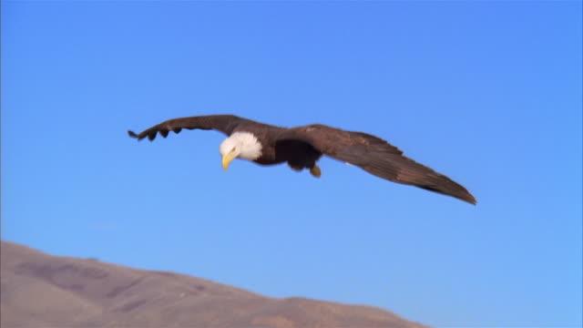 ms, bald eagle flying over mountains, boise, idaho, usa - aquila video stock e b–roll