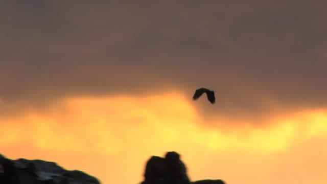 SLO MO WS LA Bald Eagle (Haliaeetus leucocephalus) flying over rocky coastline at sunset, Ucluelet, British Columbia, Canada