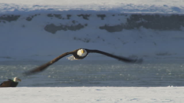 ms bald eagle flying towards camera with icy river in background  - rovfågel bildbanksvideor och videomaterial från bakom kulisserna