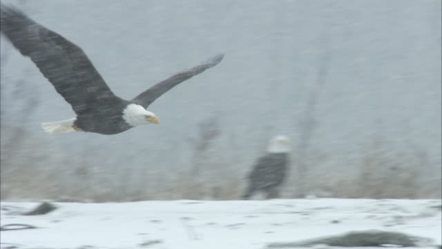 a bald eagle glides low over the snowy chilkat river. - eagle stock videos & royalty-free footage