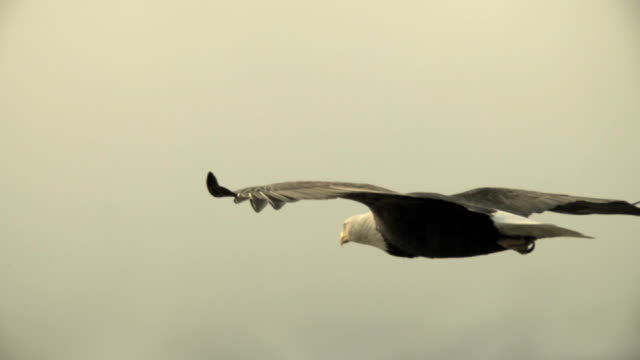 a bald eagle glides over the chilkat river on a cloudy day. - flying stock videos & royalty-free footage