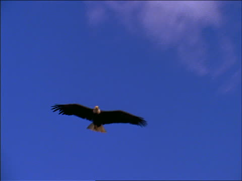 bald eagle gliding + hovering in blue sky - full length stock videos & royalty-free footage