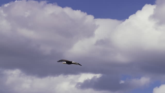 ms ts bald eagle gliding in sky with white clouds / boise, idaho, united states - bald eagle stock videos & royalty-free footage