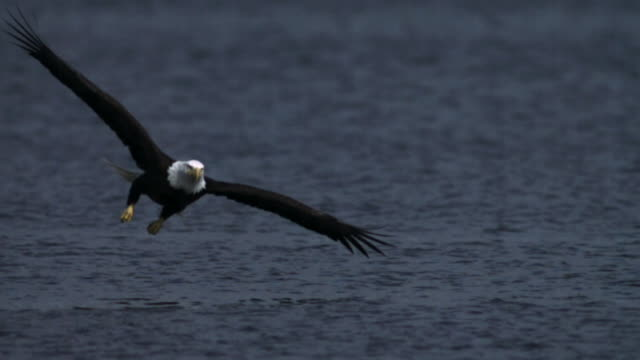 vidéos et rushes de bald eagle grabs salmon carcass from surface of water.  - aigle