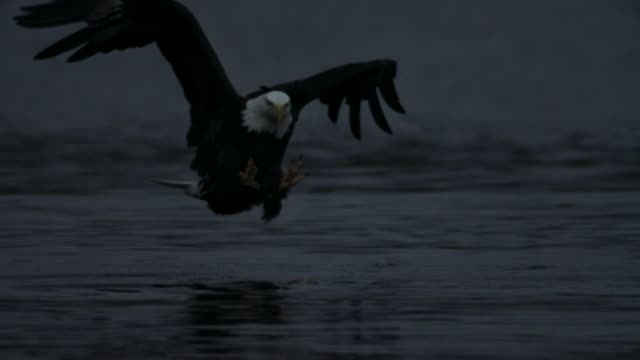 vídeos de stock e filmes b-roll de bald eagle grabs salmon carcass from surface of water. - apanhar comportamento animal