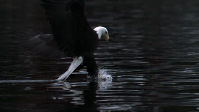 Bald Eagle grabs salmon carcass from surface of water. (Vertical lines and colour artifacts throughout)