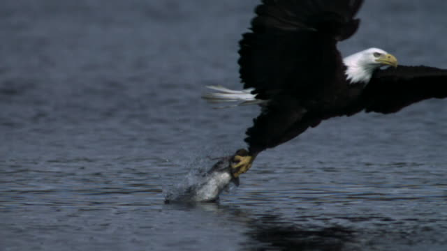 stockvideo's en b-roll-footage met bald eagle grabs salmon carcass from surface of water.  - canada
