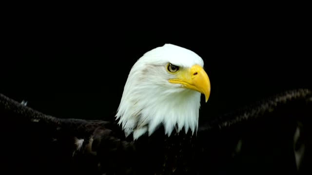 bald eagle, haliaeetus leucocephalus, portrait beats with wings and calling - tierflügel stock-videos und b-roll-filmmaterial