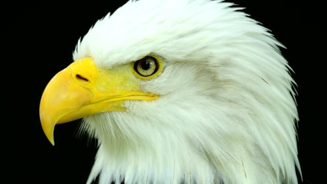 bald eagle, haliaeetus leucocephalus, portrait - bald eagle stock videos & royalty-free footage