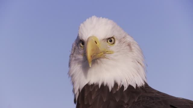 CU Bald Eagle (Haliaeetus leucocephalus) head against blue sky / Boise, Idaho, USA