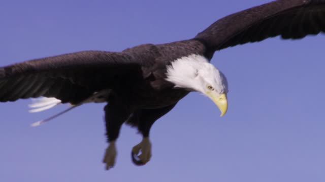 SLO MO MS Bald Eagle (Haliaeetus leucocephalus) hovering and landing / Boise, Idaho, USA
