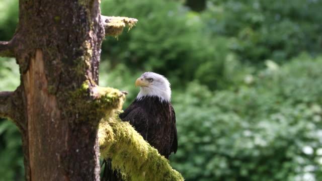 stockvideo's en b-roll-footage met bald eagle (haliaeetus leucocephalus) in a tree - alaska verenigde staten