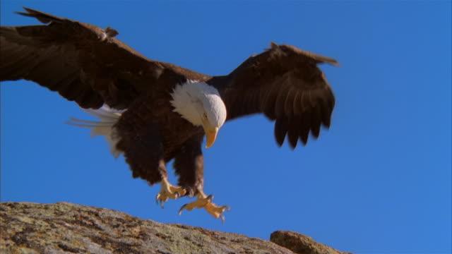 ms, bald eagle landing on rock against clear sky, boise, idaho, usa - bald eagle stock videos & royalty-free footage
