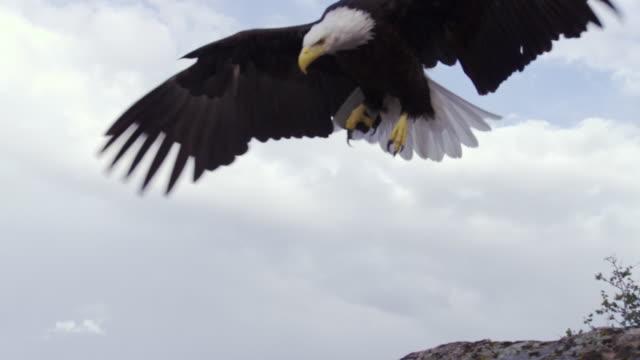 MS TS Bald Eagle landing on rock / Boise, Idaho, United States