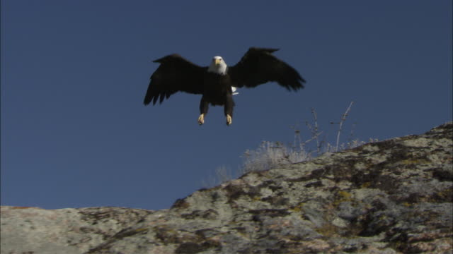 ws la bald eagle (haliaeetus leucocephalus) landing on rock, boise, idaho, usa - full length stock videos & royalty-free footage