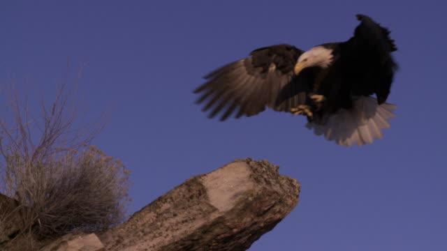 SLO MO WS Bald Eagle (Haliaeetus leucocephalus) landing on rock / Boise, Idaho, USA
