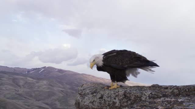 ms ts  bald eagle landing on rock edge and taking off / boise, idaho, united states - bald eagle stock videos & royalty-free footage