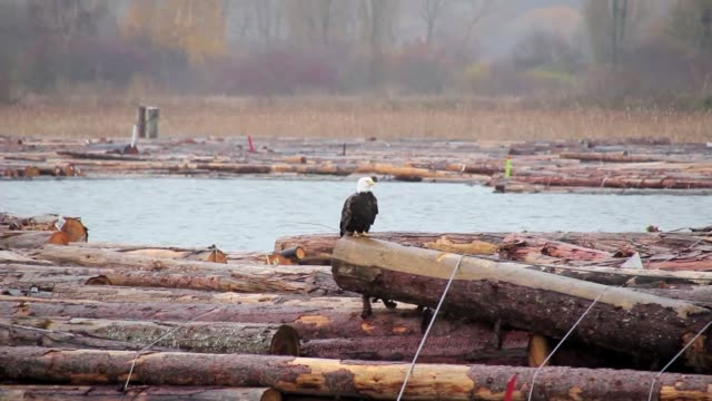 bald eagle launching and flying away - audio available stock videos & royalty-free footage