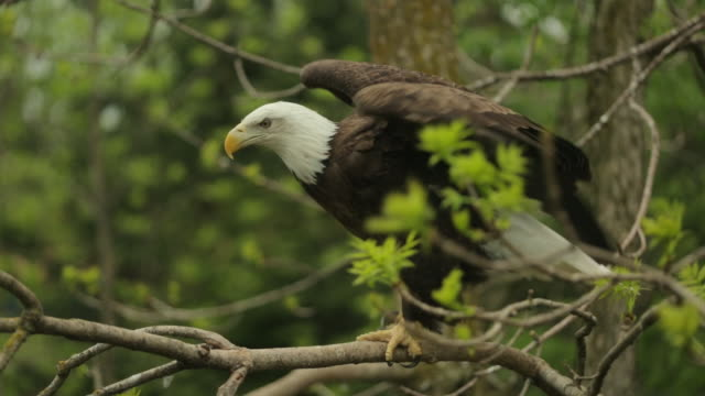 MS of bald eagle leaving branch