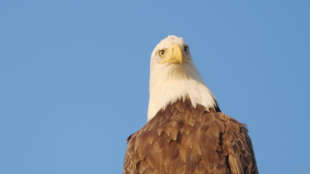 bald eagle looking around in alaska - domination stock videos & royalty-free footage
