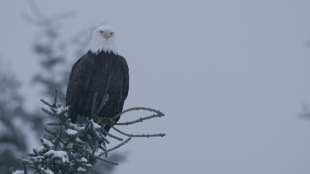 bald eagle (haliaeetus leucocephalus) looks around in snowy forest, alaska, usa - perching stock videos & royalty-free footage