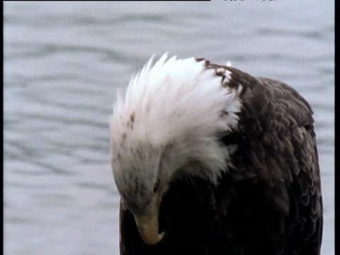 vídeos de stock e filmes b-roll de bald eagle looks around on beach, alaska - boca de animal