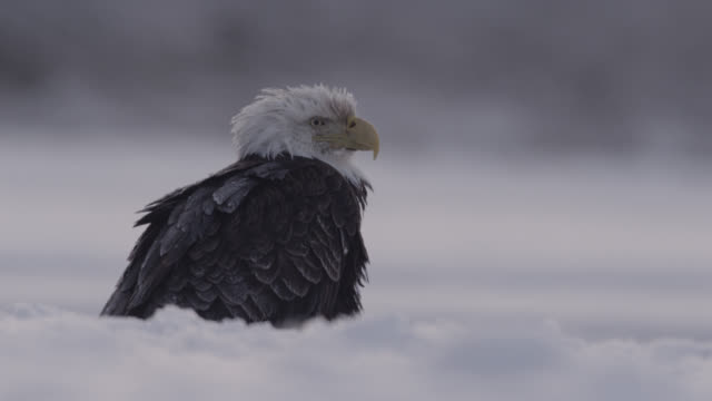 vídeos de stock, filmes e b-roll de bald eagle (haliaeetus leucocephalus) looks around on snow, alaska, usa - north america