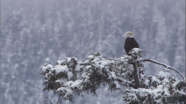 A bald eagle, perched high, surveys a snow covered forest. Available in HD.