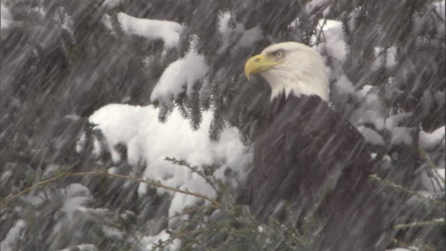 a bald eagle perches in a tree during a snowstorm. available in hd. - snowflake stock videos & royalty-free footage