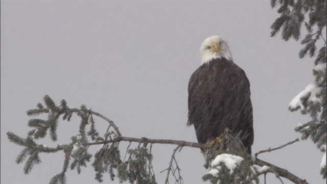 a bald eagle perches on a tree branch during a snowstorm. available in hd. - snowflake stock videos & royalty-free footage