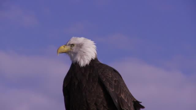 slo mo ms bald eagle (haliaeetus leucocephalus) perching against sky / boise, idaho, usa - perching stock videos & royalty-free footage