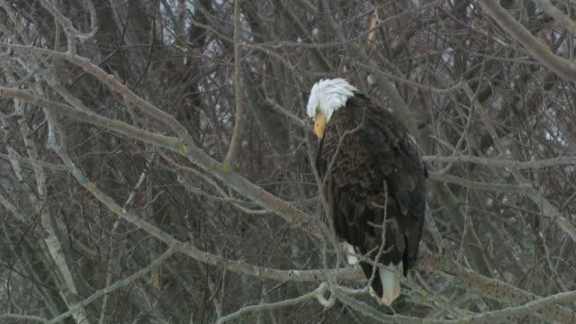 stockvideo's en b-roll-footage met ms bald eagle (haliaeetus leucocephalus) perching on bare tree, annapolis valley, canning, nova scotia, canada - bare tree