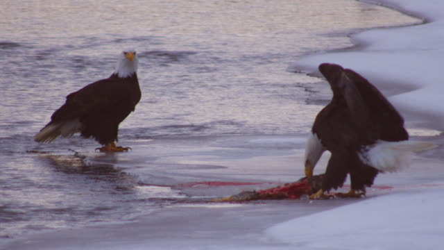 Bald Eagle pulls salmon carcase out of river and eats on snowy riverbank with another eagle watching