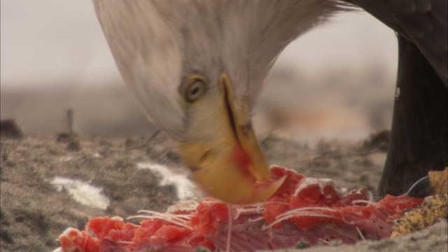 a bald eagle rips the flesh from a fish it has killed. - fish stock videos & royalty-free footage