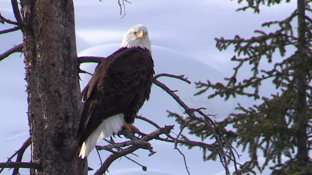 bald eagle, sitting in a tree, yellowstone national park, wyoming in winter - eagle bird stock videos and b-roll footage