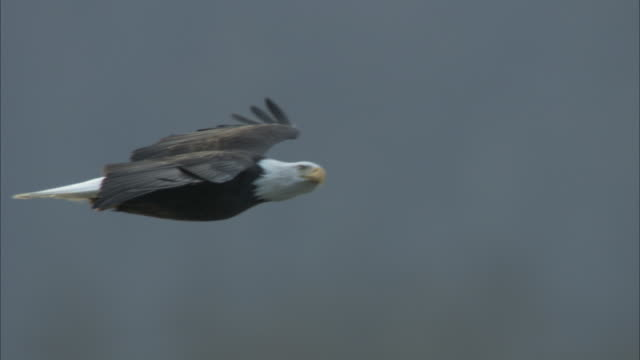 a bald eagle soars in a misty sky past an evergreen forest. - flying stock videos & royalty-free footage