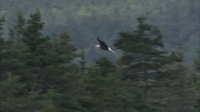 a bald eagle soars over treetops and lands on the tip of an evergreen. - bird of prey stock videos & royalty-free footage