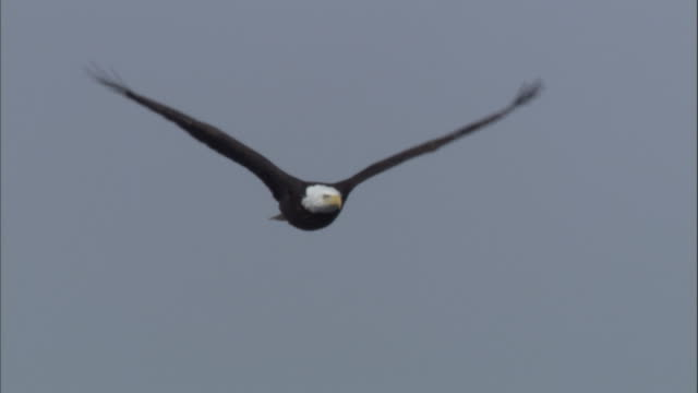 vidéos et rushes de a bald eagle soars through sky. available in hd. - aigle