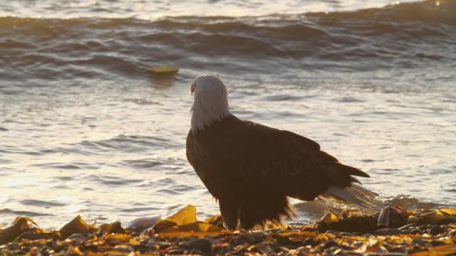 vidéos et rushes de bald eagle standing in sea water under golden sunset in alaska - bouche des animaux