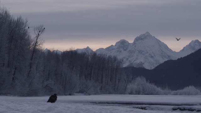 Bald eagle (Haliaeetus leucocephalus) stands in snowy landscape, Alaska, USA