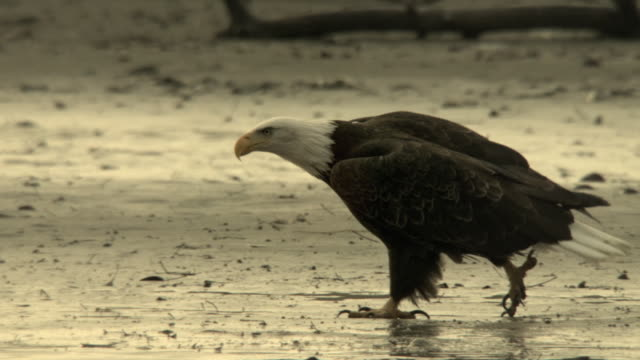 a bald eagle struts purposefully along a sandy beach near the chilkat river. - bird of prey stock videos & royalty-free footage