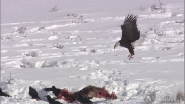 vidéos et rushes de bald eagle (haliaeetus leucocephalus) swoops and lands on elk carcass, yellowstone, usa - rapace