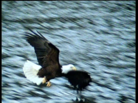 Bald eagle swoops down and catches fish with talons from surface of lake, fly's upwards and eats fish in mid-air