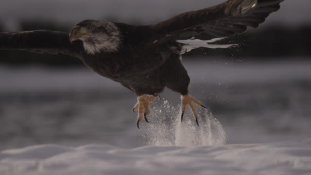vídeos de stock, filmes e b-roll de bald eagle (haliaeetus leucocephalus) takes off from snow, alaska, usa - fauna silvestre