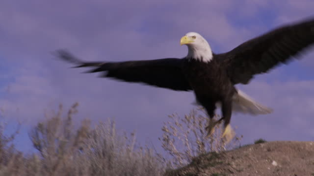 vidéos et rushes de slo mo ws ts bald eagle (haliaeetus leucocephalus) taking off and flying against sky / boise, idaho, usa - aigle